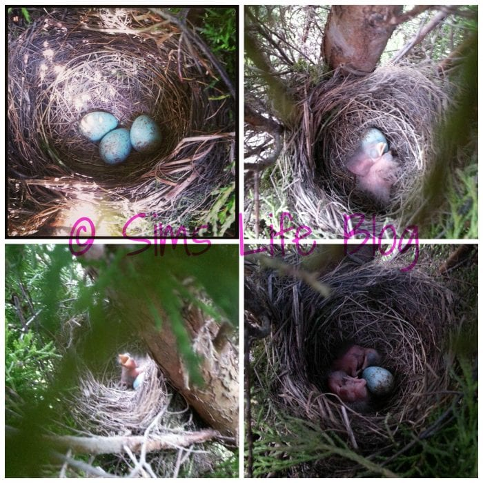 Blackbird eggs hatching