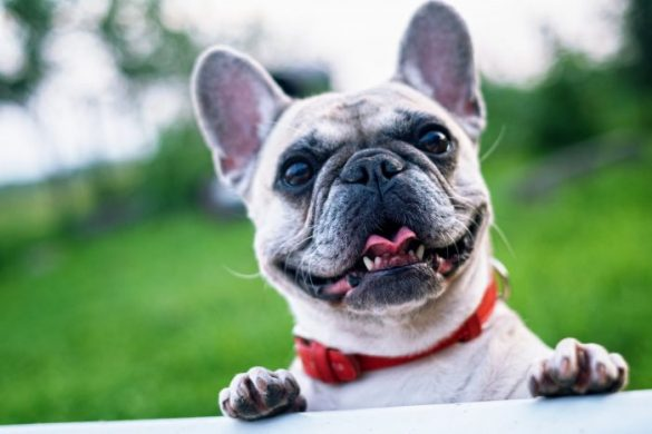 Ensure-your-pet-gets-TLC-at-Christmas-French-Bulldog